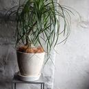 ノリナ indoor plants  L size 現品