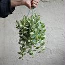 観葉植物 indoor plants  ディスキディア エメラルド 現品