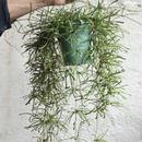 観葉植物 indoor plants  ホヤ レツーサー 現品