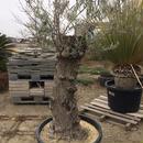 オリーブ古木 樹齢100年 ④