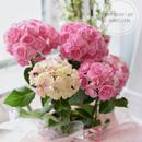 母の日ギフト ピンクの紫陽花鉢植え バスケット付き 5400円
