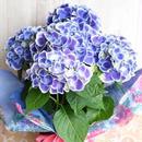 母の日 ギフト 紫陽花の鉢植え バスケット付き 5400円
