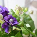 母の日 フラワーギフト クレマチス (鉢植え)
