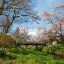 お宮橋からの桜と富士山[忍野村]