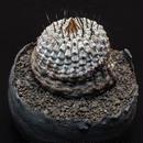 コピアポア シネラスケンス竜牙球 copiapoa sinerascens