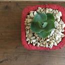 カワイイ植木鉢♪南の島からお届けする琉球漆喰鉢&アガベ雷神