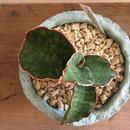 カワイイ植木鉢♪南の島からお届けする琉球漆喰鉢&サンスベリア・ドラゴンウィング