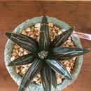 カワイイ植木鉢♪南の島からお届けする琉球漆喰鉢&アガベ・ヴィクトリアレジーナ
