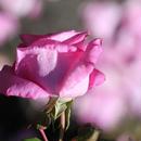 お花のエッセンス  heart  to  heart