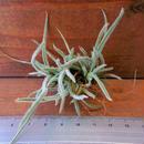 チランジア / クロカータ (T.crocata)