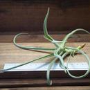チランジア / デュラティ M (T.duratii)