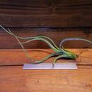 チランジア /  カプトメドーサ × プセウドベイレイ (T.caput-medusae × T.pseudobaileyi)