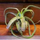 チランジア / ストレプトフィラ Sサイズ (T.streptophylla) No-02