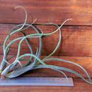 チランジア / アリザジュリアエ × プルイノーサ (T.ariza-juliae × T.pruinosa)