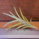 チランジア / カピラリス ジャイアントフォーム (T.capillaris 'Giant Form')