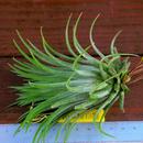 チランジア / イオナンタ カーリージャイアント (T.ionantha 'Curly Giant')