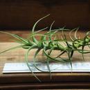 チランジア / ベルゲリー (T.bergeri)