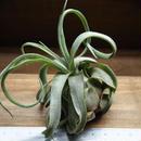 チランジア / ストレプトフィラ Mサイズ (T.streptophylla)  No-02