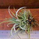 チランジア / ウトリクラータ プリングレイ Sサイズ (T. utriculata ssp. pringlei)