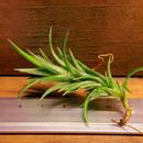 チランジア / ネグレクタ S (T.neglecta)