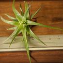 チランジア / イオナンタ ヴァンハイニンギー Sサイズ (T.ionantha var. vanhyningii)