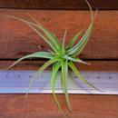 チランジア / カクティコラ S (T.cacticola)