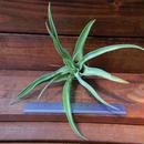 チランジア / ストレプトフィラ Lサイズ (T.streptophylla)