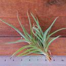 チランジア / バンデンシス (T.bandensis)