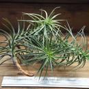 チランジア / ベルゲリー Lサイズ (T.bergeri)