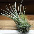 チランジア / ウトリクラータ プリングレイ Mサイズ (T. utriculata ssp. pringlei)