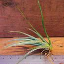 チランジア / ヴェルニコーサ ハイブリッド (T.vernicosa Hybrid)