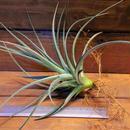 チランジア / ポーリアナ × レクルヴィフォリア (T.pohliana × T.recurvifolia) ※子株付き