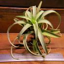 チランジア / ロゼオスカパ (T.roseoscapa)