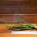 チランジア /  ブルボーサ × プエブレンシス (T.bulbosa × T.pueblensis)