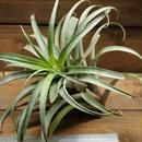 チランジア / ロゼオスカパ XL (T.roseoscapa) ※アウトレット20%引き
