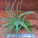 チランジア / エクセルタ × ベルティナ (T.exserta× T.velutina)
