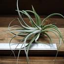 チランジア / レクルヴィフォリア × ガルドネリー (T.recurvifolia × T.gardneri)