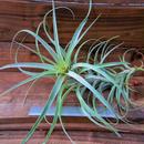 チランジア / クエロエンシス (T.queroensis)