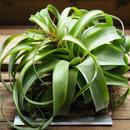 チランジア / ストレプトフィラ × キセログラフィカ (T.streptophylla × T.xerographica) ※開花株30%OFF