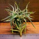 チランジア / レクタングラ (T.rectangula)
