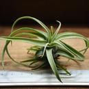 チランジア / ストレプトフィラ Sサイズ (T.streptophylla) No-01