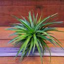 チランジア / テヌイフォリア パープルファン (T.tenuifolia 'Purple Fan')