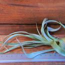 チランジア / スファエロセファラ (T. sphaerocephala)