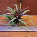 チランジア / カピタータ ドミンゲンシス (T.capitata var. domingensis) ※子株付き