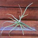チランジア / ライヘンバッキー (T.reichenbachii)
