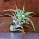 チランジア / イオナンタ ヴァンハイニンギー (T.ionantha var. vanhyningii)