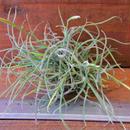 チランジア / レクルバータ (T.recurvata)