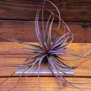 チランジア / ヴェルニコーサ パープルジャイアント (T.vernicosa 'Purple Giant')