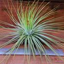 チランジア / マグヌシアナ (T.magnusiana) ※開花済株