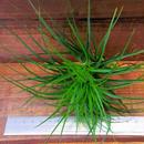 チランジア / ストリクタ グリーン CL (T.stricta 'Green')